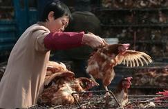 Grippe aviaire : une nouvelle victime en Chine