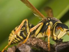 Allergie aux guêpes/abeilles