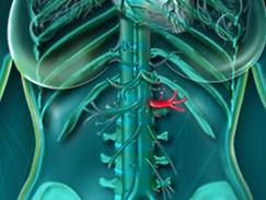Artère rénale