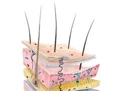 Structures et rôles de la peau