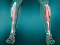Muscles antérieurs de la jambe