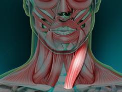 Muscle sterno-cléido-mastoïdien