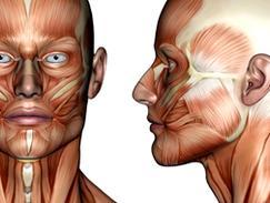 Muscles zygomatiques