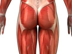 Muscle moyen fessier