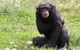 Le refuge des chimpanzés