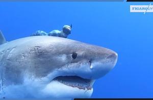 À Hawaï, des plongeurs nagent au côté d'un requin blanc de 6 mètres