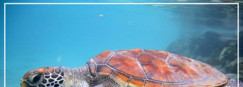 Australie: 64.000 tortues rassemblées près de la grande barrière de corail