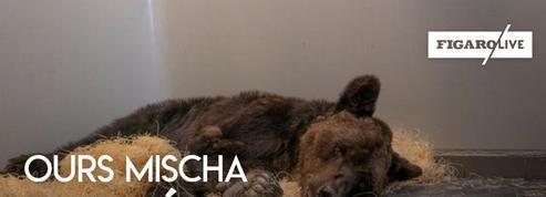 L'ours maltraité Mischa désormais soigné, mais toujours dans un état préoccupant