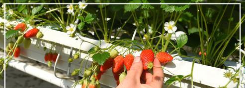 La production de fraises fortement ralentie par le coronavirus