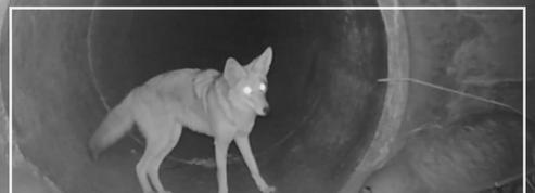 Une caméra immortalise l'étonnante entente entre un coyote et un blaireau