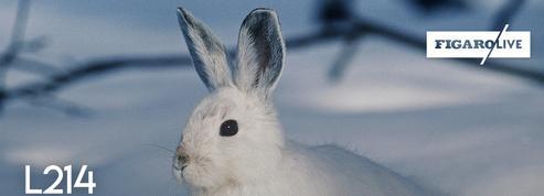 L214 : nouvelle vidéo alarmante sur une exploitation de lapins dans les Deux-Sèvres