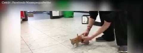 Un chaton paralysé teste son fauteuil roulant