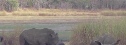 Un rhinocéros coince sa corne dans un pneu