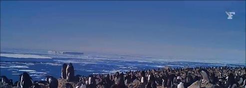 Une «supercolonie» de manchots Adélie découverte en Antarctique