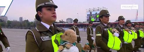 Au Chili, des chiots policiers formés dès la naissance