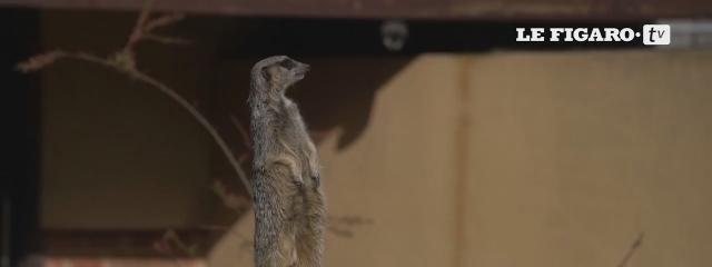 Les suricates du zoo de Londres sont gâtés pour Pâques