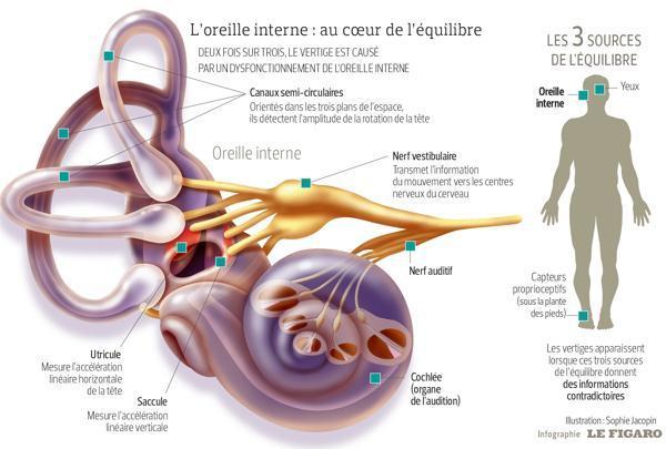 Ce schéma représente l'oreille interne et son fonctionnement