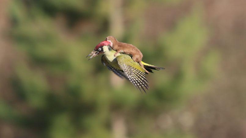 L'image du petit mammifère qui fait un tour en oiseau-taxi est moins bucolique qu'elle en a l'air.