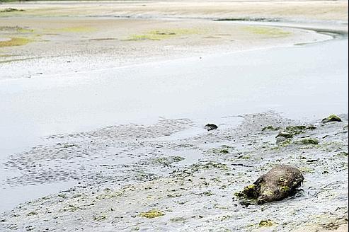 Un sanglier mort sur la plagede Morieux, dans les Côtes-d'Armor, le 26 juillet dernier.