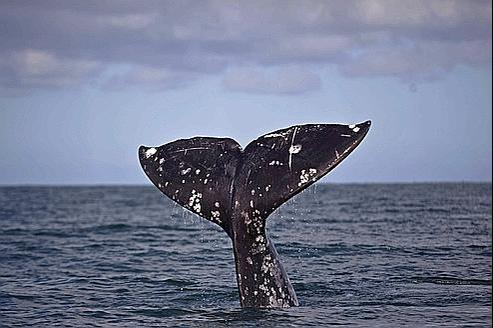 Le Passage Du Nord Ouest Est Ouvert Pour Les Baleines