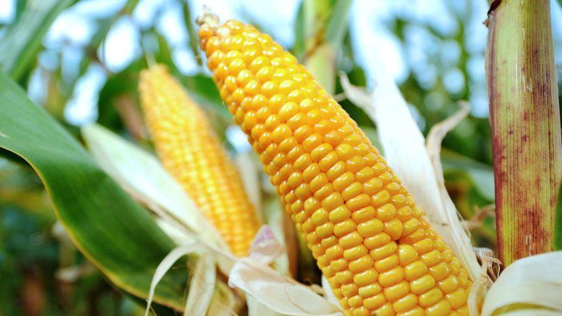 OGM : le Conseil d'État annule l'interdiction du maïs modifié de Monsanto
