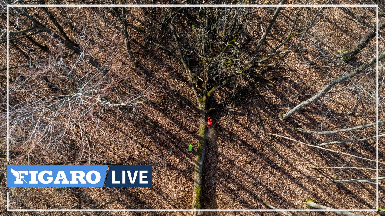 Notre-Dame: des chênes centenaires abattus en Seine-et-Marne pour la reconstruction de la charpente de la cathédrale