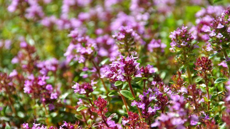 plante antiseptique
