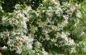 Comment cultiver un Ehretia dicksonii?