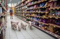 Porc : les distributeurs offrent 100millions aux éleveurs