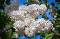 Peut-on planter en mai un lilas en conteneur ?