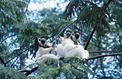 Les lémuriens, victimes collatérales de la déforestation