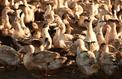 Grippe aviaire: enquête ouverte pour «tromperie aggravée»