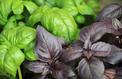 Au jardin et dans l'assiette, du basilic à tous les parfums