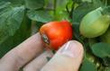 Comment empêcher les tomates d'avoir le «cul noir» ?