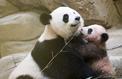 Zoo de Beauval : le bébé panda fait sa première apparition publique