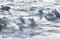 De grands dauphins s'aventurent dans les eaux froides du Pacifique