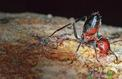 Les fourmis explosives se font kamikazes