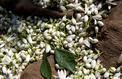 À Vallauris, les fleurs magiques du bigaradier