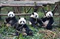Une lignée de pandas géants vivant il y a 22.000 ans a complètement disparu