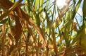 La sécheresse frappe de nombreux agriculteurs