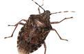 Les fléaux biologiques : la punaise diabolique qui ravage vergers et potagers