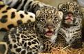 Naissance de deux bébés jaguars au zoo de Vincennes