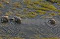 Près d'une centaine d'éléphants massacrés en quelques semaines au Botswana