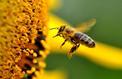 Et si les abeilles venaient à disparaître de notre planète…