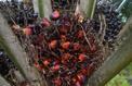 Greenpeace dénonce le maintien d'un avantage fiscal à l'huile de palme