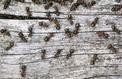 Les fourmis aussi ont des arrêts-maladie