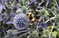 Menacées en milieu rural, les abeilles se réfugient dans les villes