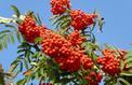Sorbier des oiseaux, des fleurs et des fruits