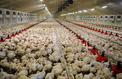 Trois fois plus de poulets d'élevage que d'humains