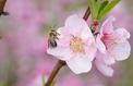 L'agriculture fait reculer de 230 millions d'années l'évolution des abeilles